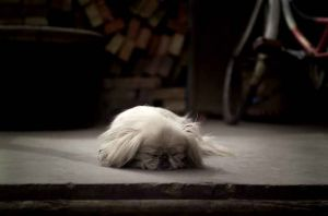 Pekinese, Datong, China 2006