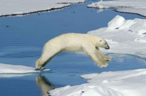 Polar Bear, Spitzbergen, Svalbard, Norway 2010